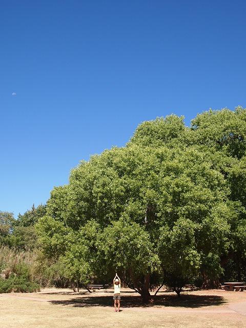 公園内の大きな木