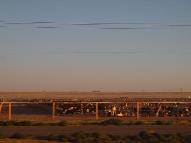 インターステートから見える農場の牛