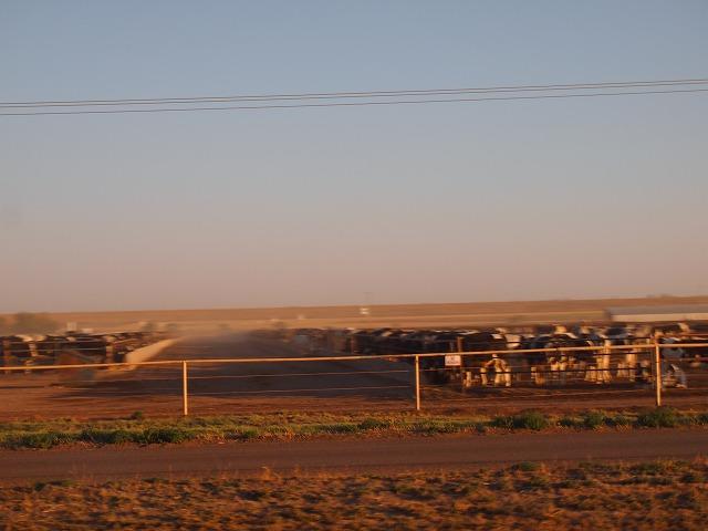ニューメキシコ州の牛